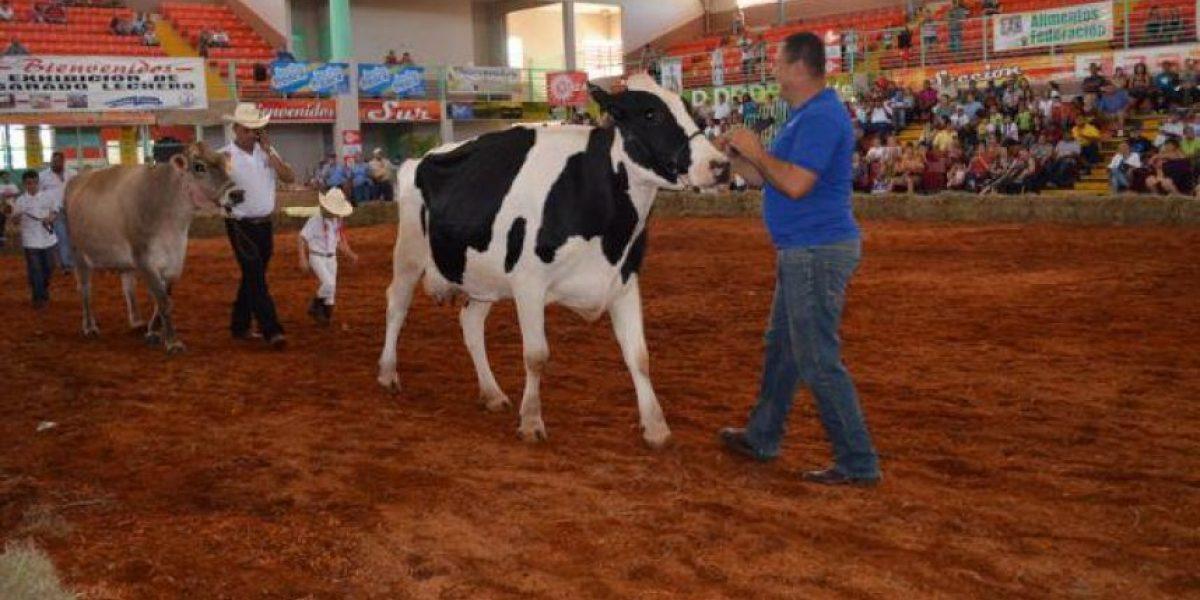 Celebran certamen de vacas lecheras en Hatillo