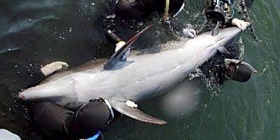 Datos curiosos que deberían saber de los delfines Foto:Getty Images. Imagen Por: