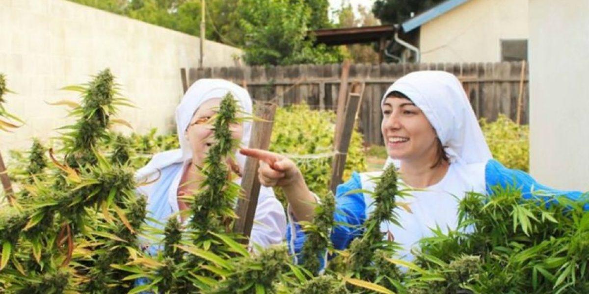 Monjas cultivan marihuana y la