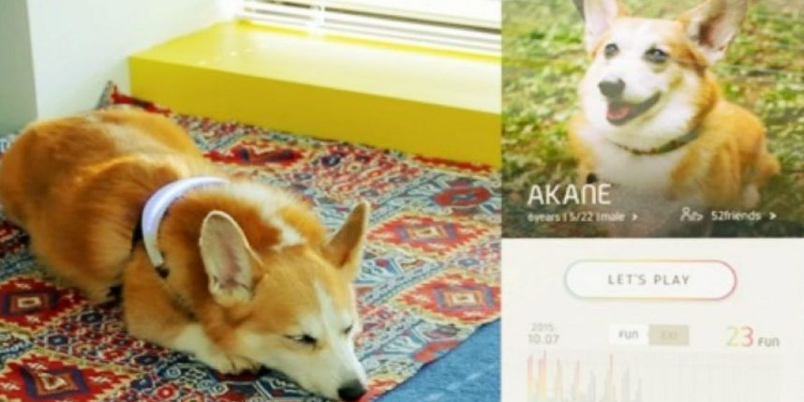 Inupathy ha sido probado en Akane, un gracioso corgi. Foto:Inupathy. Imagen Por: