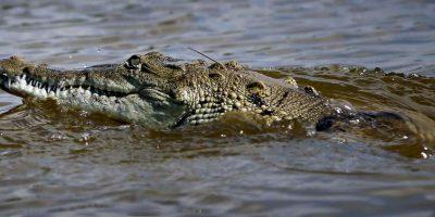 Cocodrilos en el estado de Florida Foto:Getty Images. Imagen Por: