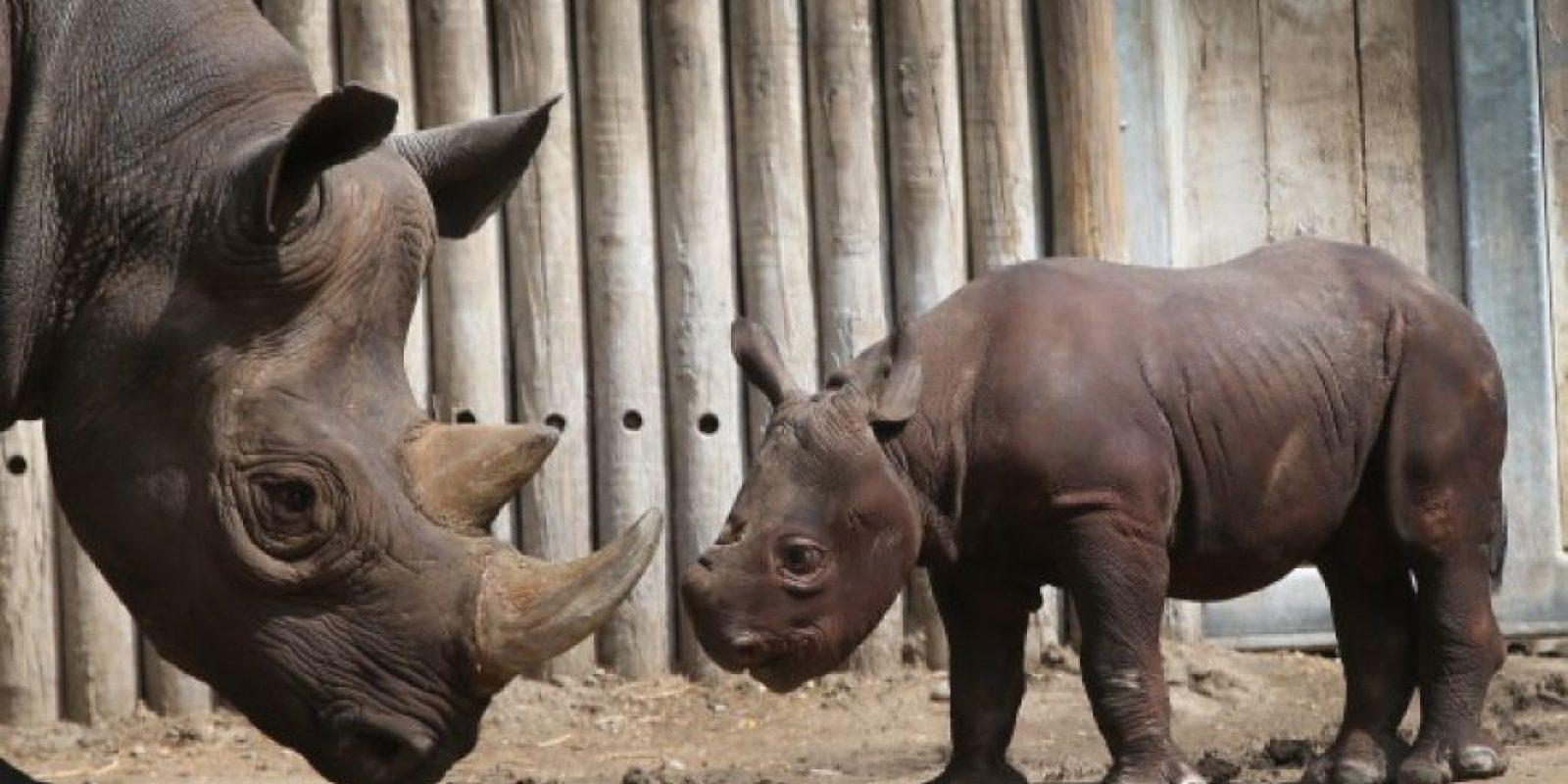 Es el animal terrestre más grande, después del elefante y el hipopótamo. Foto:Getty Images. Imagen Por: