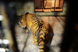 Es el felino más grande del mundo. Aunque su tamaño puede variar según su subespecie. Foto:Getty Images. Imagen Por: