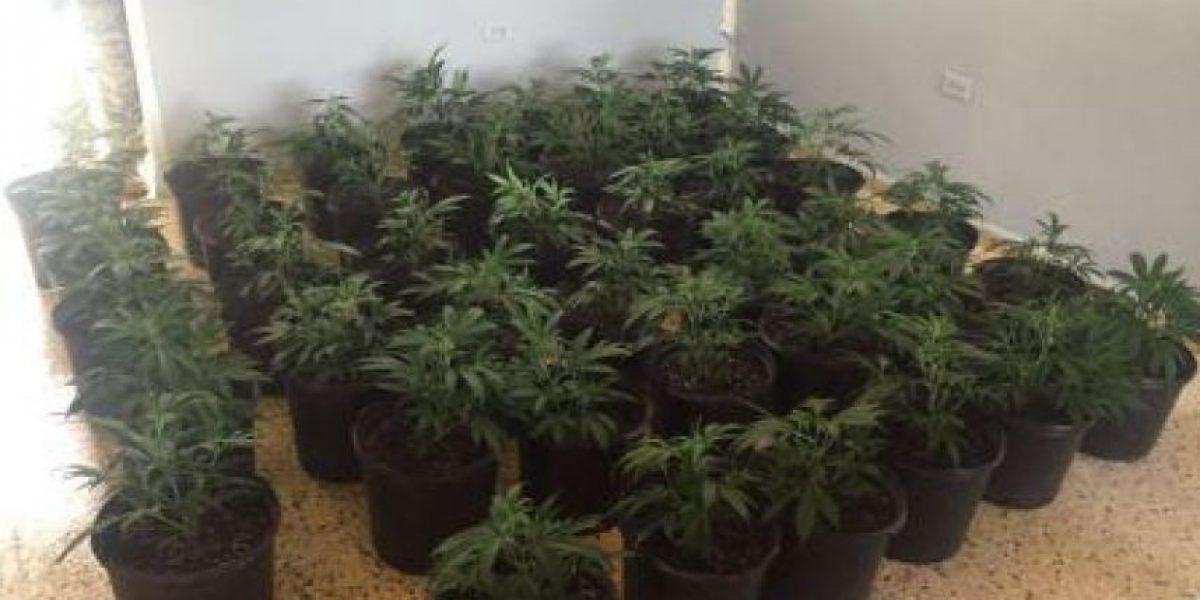 Ocupan decenas de plantas de marihuana en Morovis