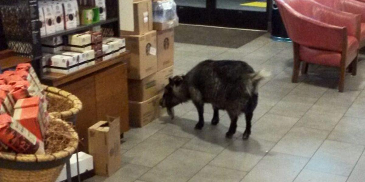 Una cabra se escapa y va a un Starbucks en California