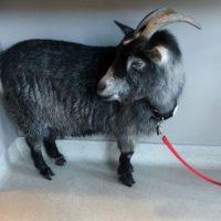 El animal era de un vecino del lugar que fue recogerla. Foto:AP. Imagen Por: