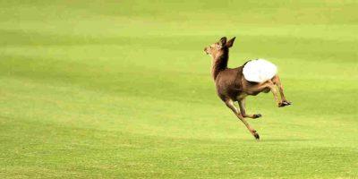 Los ciervos son de la familia de los renos, venados y alces. Foto:Getty Images. Imagen Por: