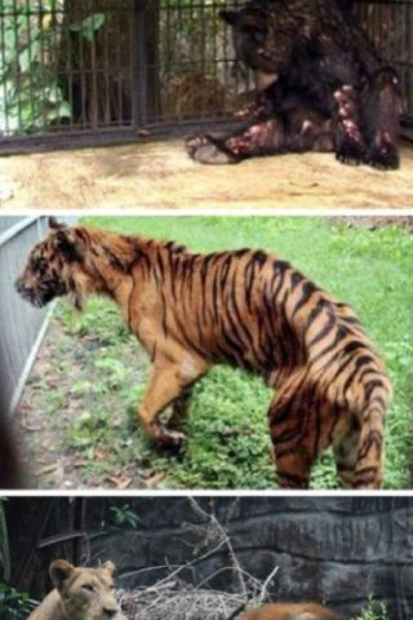 El peor zoológico del mundo: El zoológico de Surabaya, Indonesia. En enero se encontró a un león africano estrangulado en su jaula, ya que sufría de dolores estomacales. Pero este no fue el único caso: el año pasado, más de 40 animales murieron en el mismo zoológico. A una jirafa se le encontró plástico en su estómago y a un tigre, comida con formaldehído. La investigación en el zoológico reveló que muchos animales vivían en condiciones miserables. Foto:vía Oddee. Imagen Por: