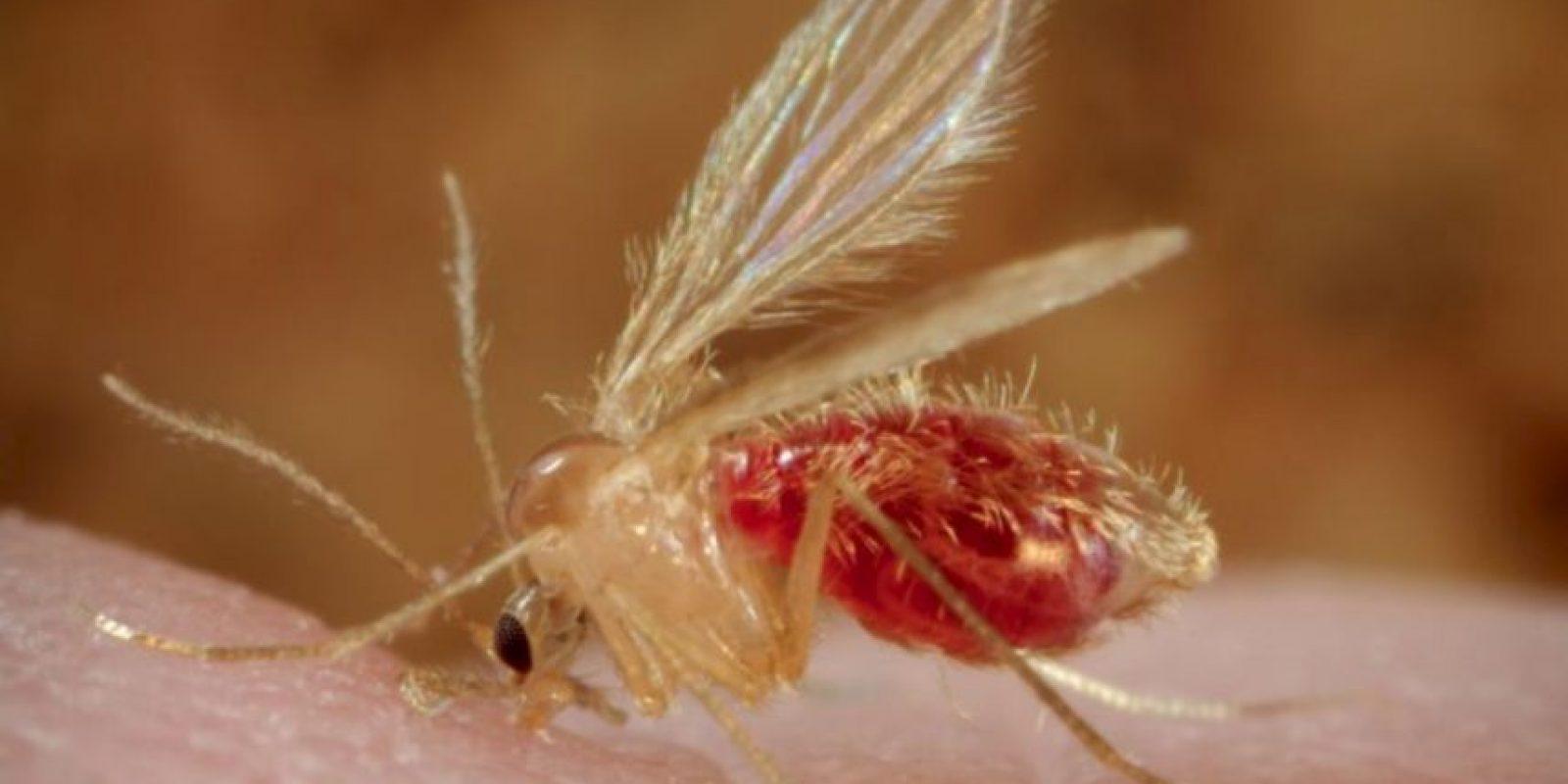 8. Leishmaniasis: también es una enfermedad antigua y se transmite a través de los flebótomos. Foto:vía Flickr. Imagen Por: