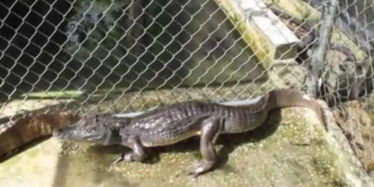 Marcada la presencia de caimanes peligrosos en la isla