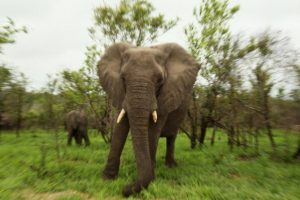 Las orejas de los elefantes son usadas para regular la temperatura corporal Foto:Getty Images. Imagen Por: