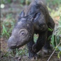 Pertenece a la familia rinocerótidos. Foto:instagram.com/rhinosirf/. Imagen Por: