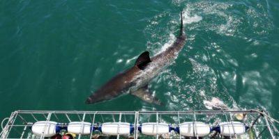 Los tiburones tienen un sentido del olfato muy agudizado Foto:Getty Images. Imagen Por: