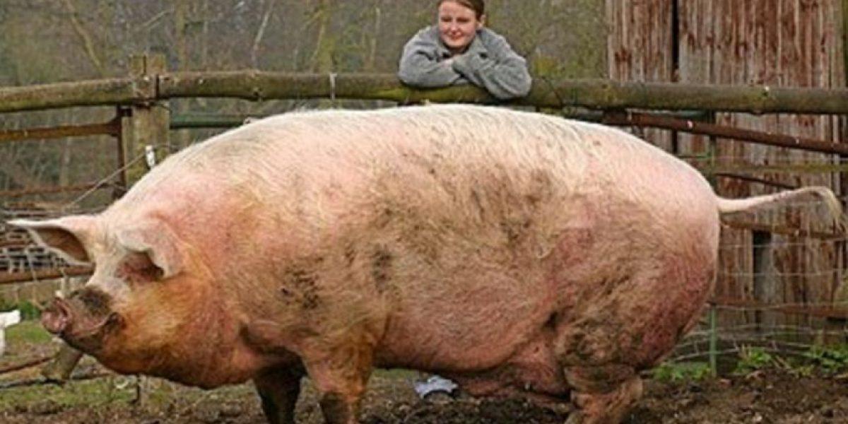 Conductora de TV no contuvo la risa al ver las partes íntimas de un cerdo