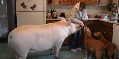 En la actualidad el cerdo doméstico se encuentra en casi todo el mundo. Foto:Wikicommons. Imagen Por: