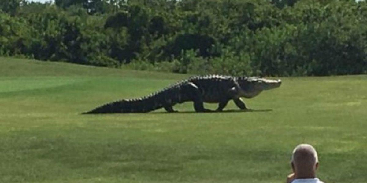 Cocodrilo gigante sorprende en campo de golf