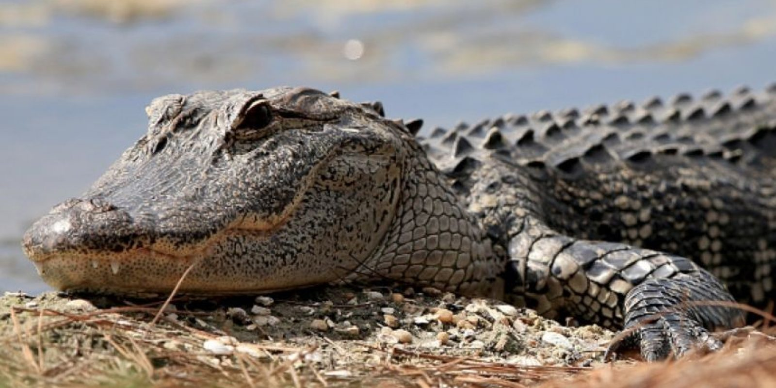 Las cabezas de los caimanes son cortas y anchas . Foto:Getty Images. Imagen Por:
