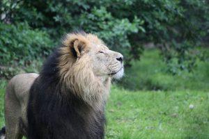 El león asiático es uno de las especies más amenazadas del mundo Foto:Wikimedia. Imagen Por: