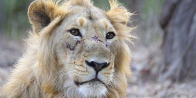 Donde se estima que existen cerca de mil leones en todo el mundo Foto:Wikimedia. Imagen Por: