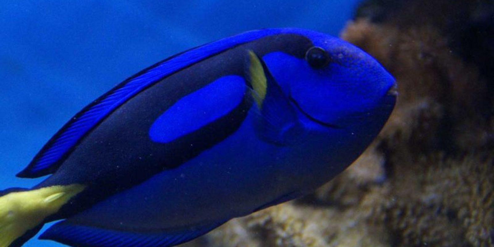 Este pez de arrecife es nativo de las aguas de los océanos Índico y Pacífico. Foto:Pixabay. Imagen Por:
