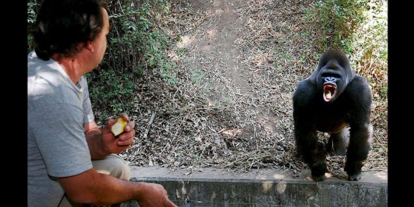 """""""Bantú"""" el gorila falleció el pasado 7 de julio. Foto:AP. Imagen Por:"""