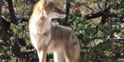 """Los coyotes pertenecen a la familia """"Canidae"""", misma a la que pertenecen los perros. Foto:Pixabay. Imagen Por:"""