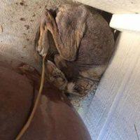 """""""Princess"""" es esta perra que fue rescatada por una mujer en California. Foto:Vía facebook.com/folsomanimalservices. Imagen Por:"""