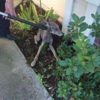 """""""Princess"""" en realidad no era una perra. Foto:Vía facebook.com/folsomanimalservices. Imagen Por:"""