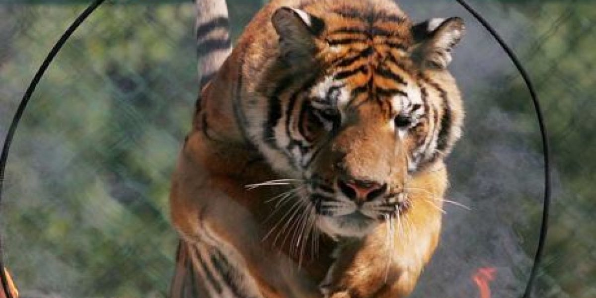 Tigres matan a mujer durante safari