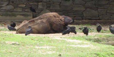Este es el bisonte del zoológico de Curacao Foto:Facebook.com/marlene.sifontesguevara. Imagen Por: