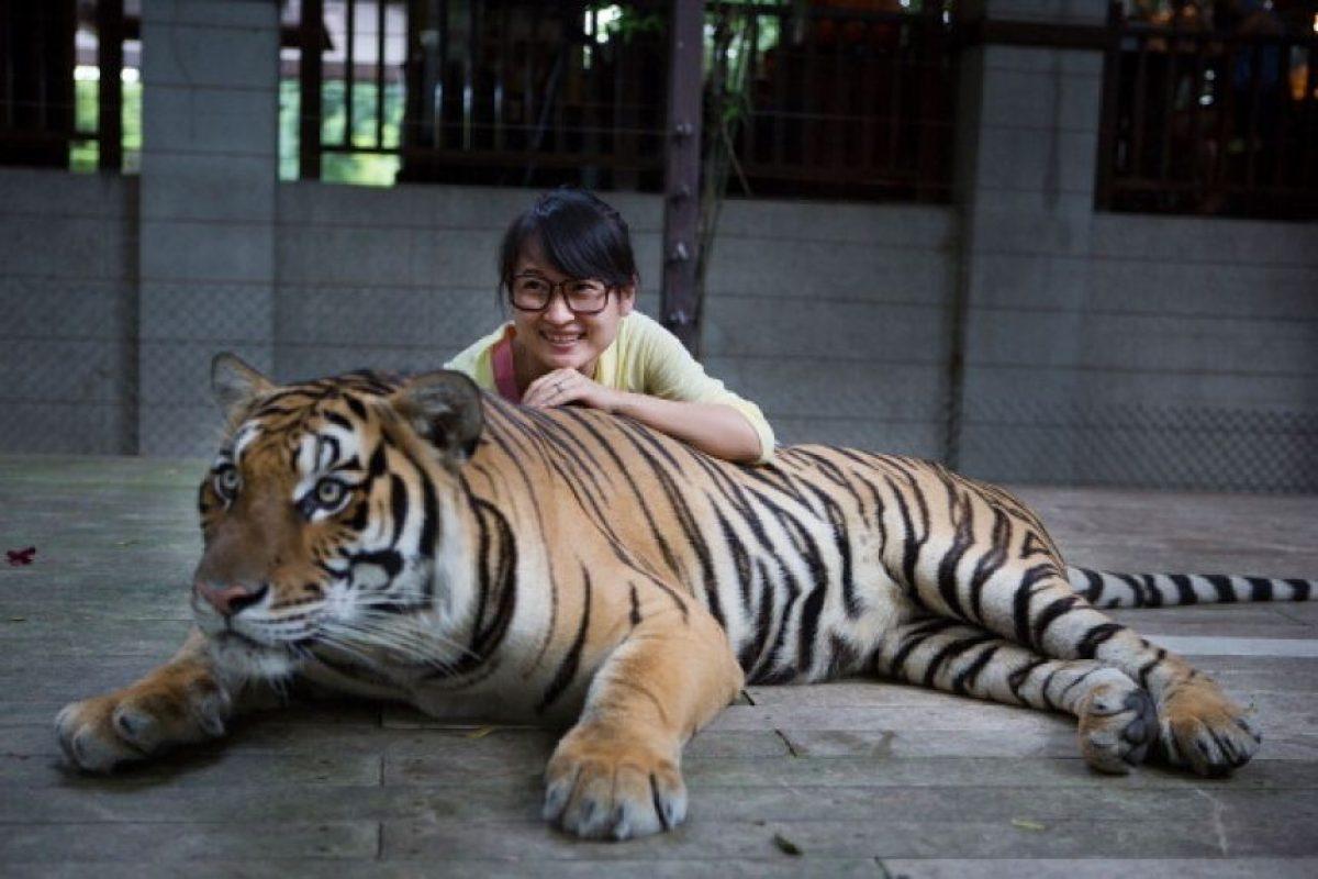 ¿Por qué nunca tomarse un selfie con un tigre? Foto:Getty Images. Imagen Por: