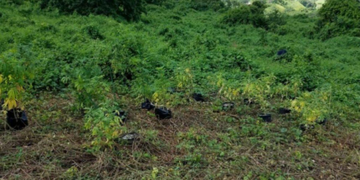 Arrestan menor en medio de ocupación de 400 plantas de marihuana en Juncos