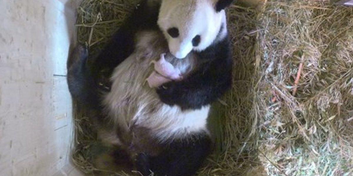 Panda da a luz mellizos en un zoo de Viena
