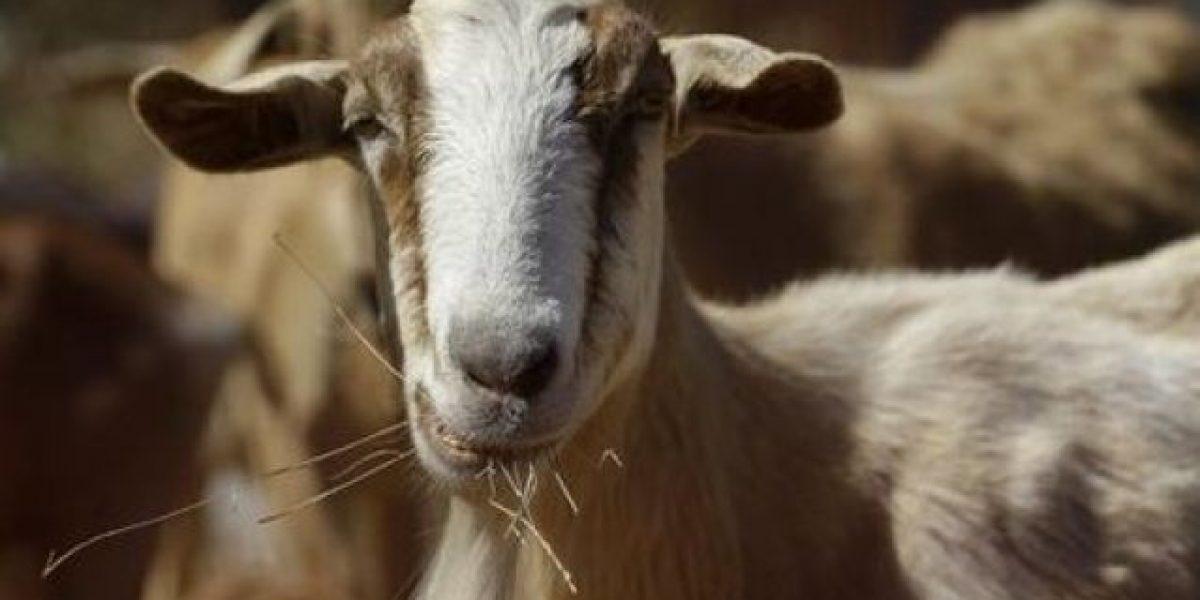 Roban 59 cabros en Yabucoa