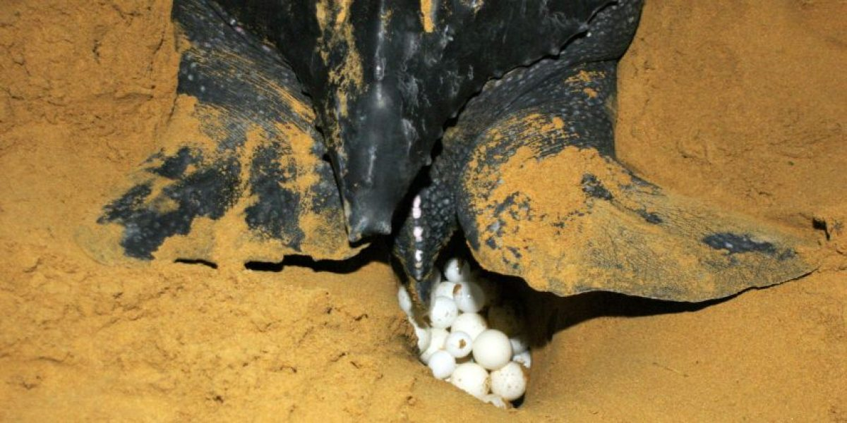 Autoridades refuerzan medidas para evitar daños a tortugas