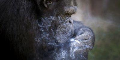 """""""Azalea"""" la chimpancé a la que hicieron adicta a fumar cigarros. Imagen Por: AP"""