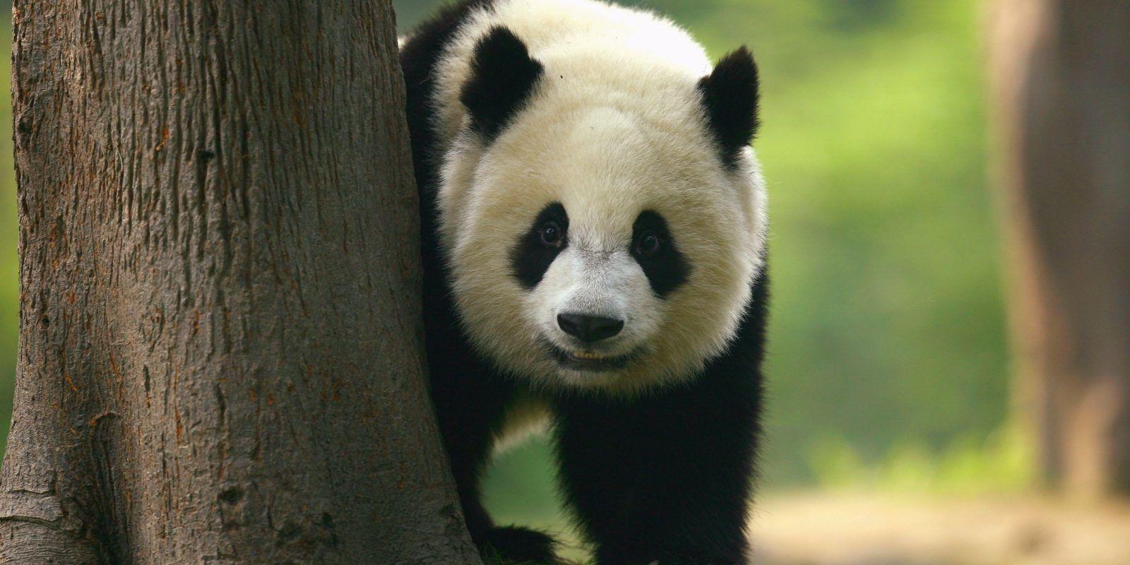 Qizai: El panda al que le hacen bullying por ser color marrón. Imagen Por: Getty Images