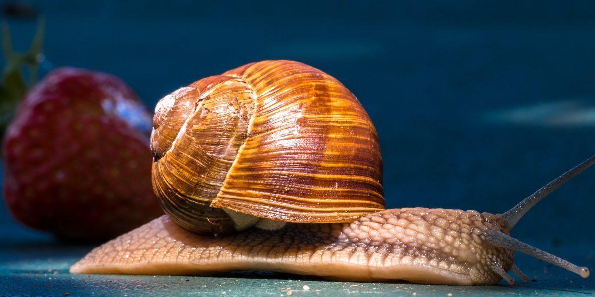 Miles buscan pareja a caracol para que no muera virgen