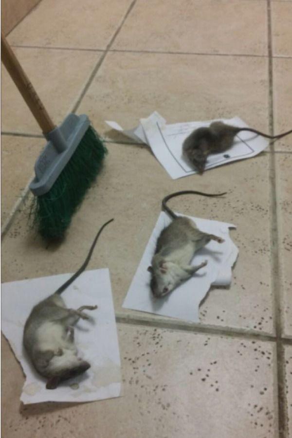 Ratones. Imagen Por: