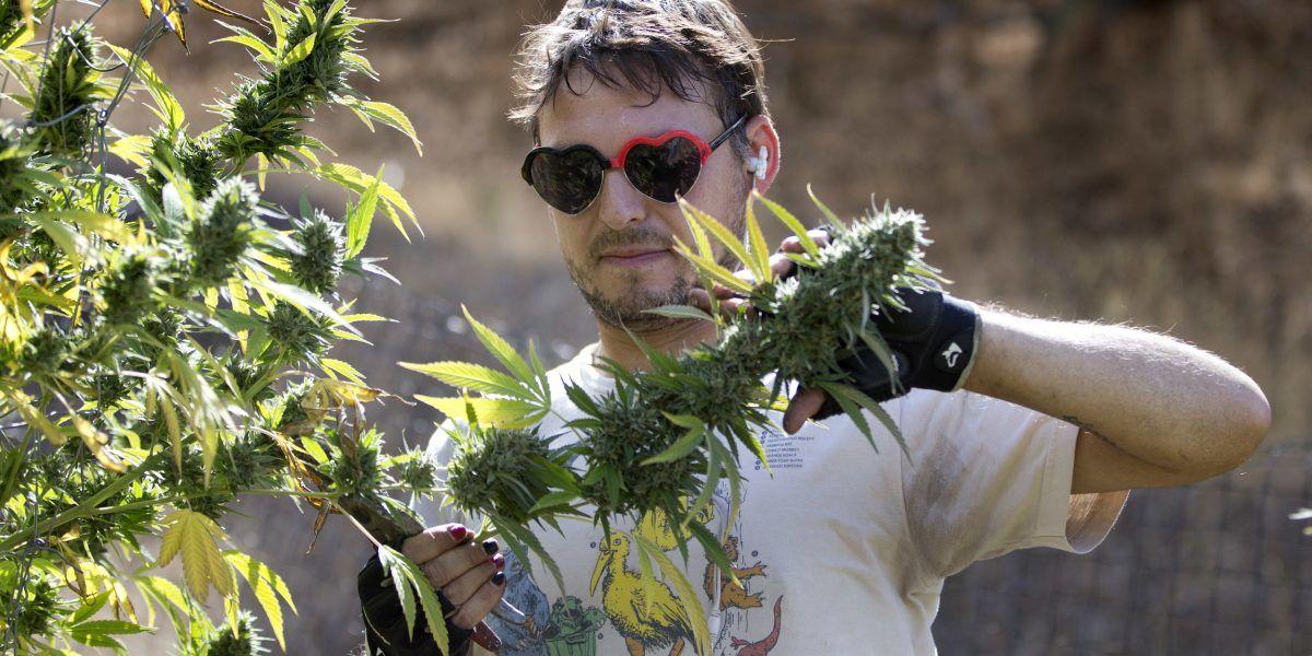 Legalización de la marihuana es un dilema para granjeros en California