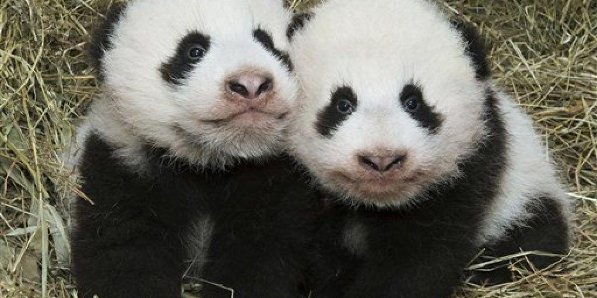 Zoo de Viena anuncia nombres de sus cachorros panda