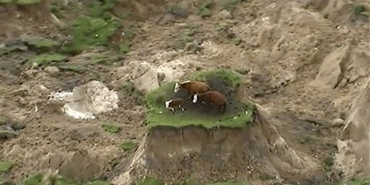 Sismo en Nueva Zelanda deja varadas a tres vacas