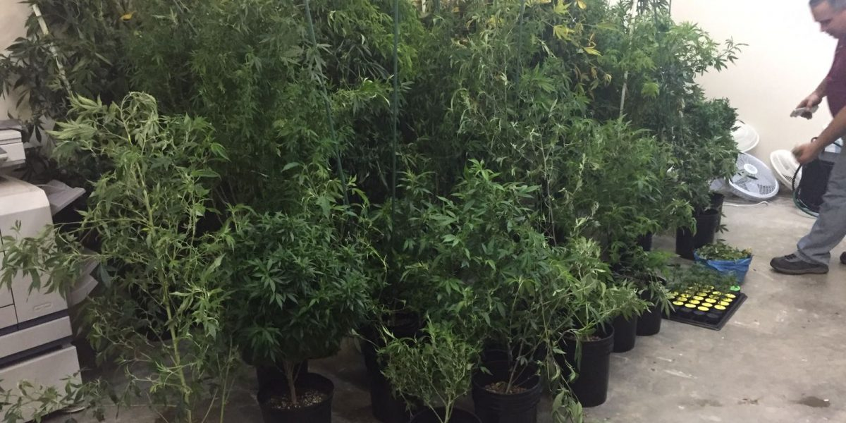 Ocupan invernadero de marihuana en Mayagüez