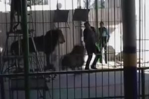 León mata a entrenador en circo de Egipto