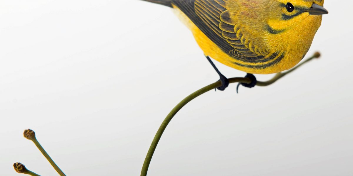 Museo de Las Américas presentará exposición de tallador de aves