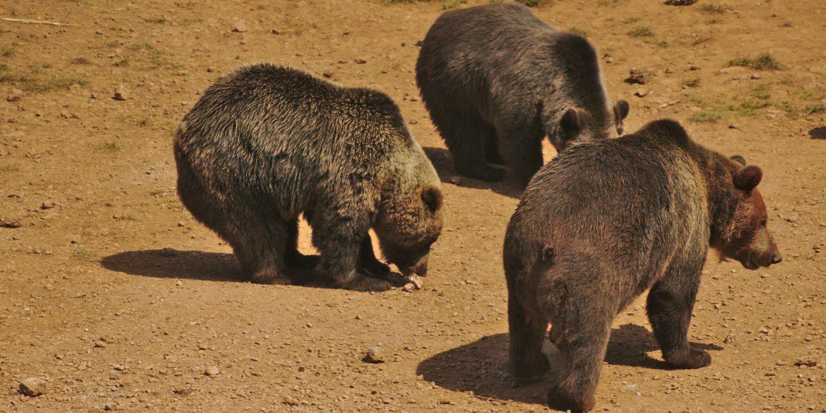 Cazadores matan más de 600 osos en Nueva Jersey