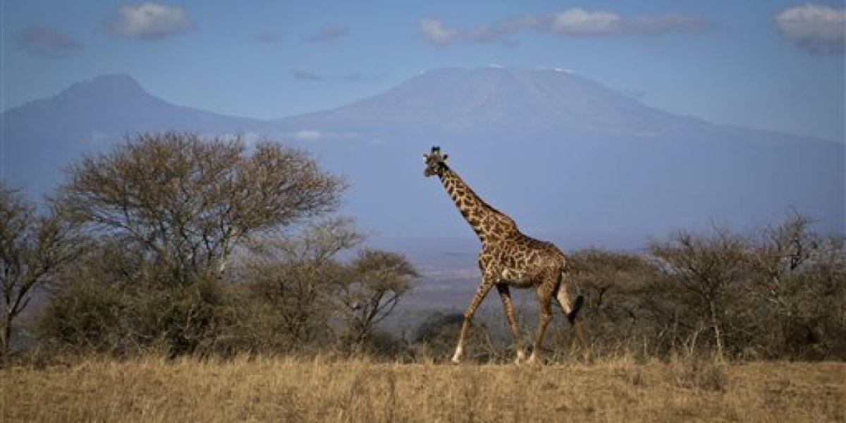 La jirafa está en lista de observación de especies en riesgo