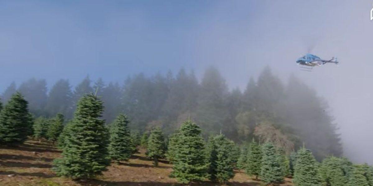 El secreto sobre la cosecha de 1 millón de árboles de Navidad
