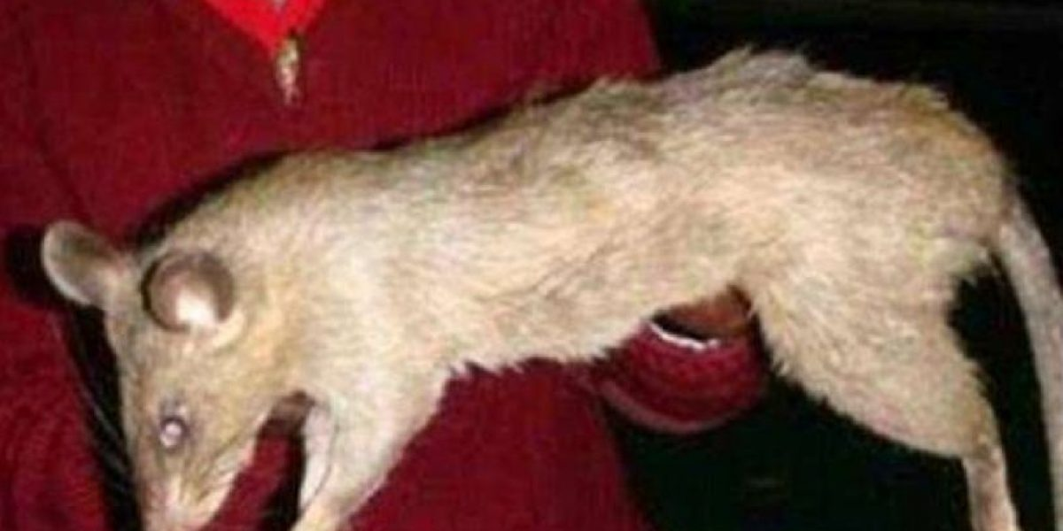 Ratas gigantes se comen una menor en Sudáfrica