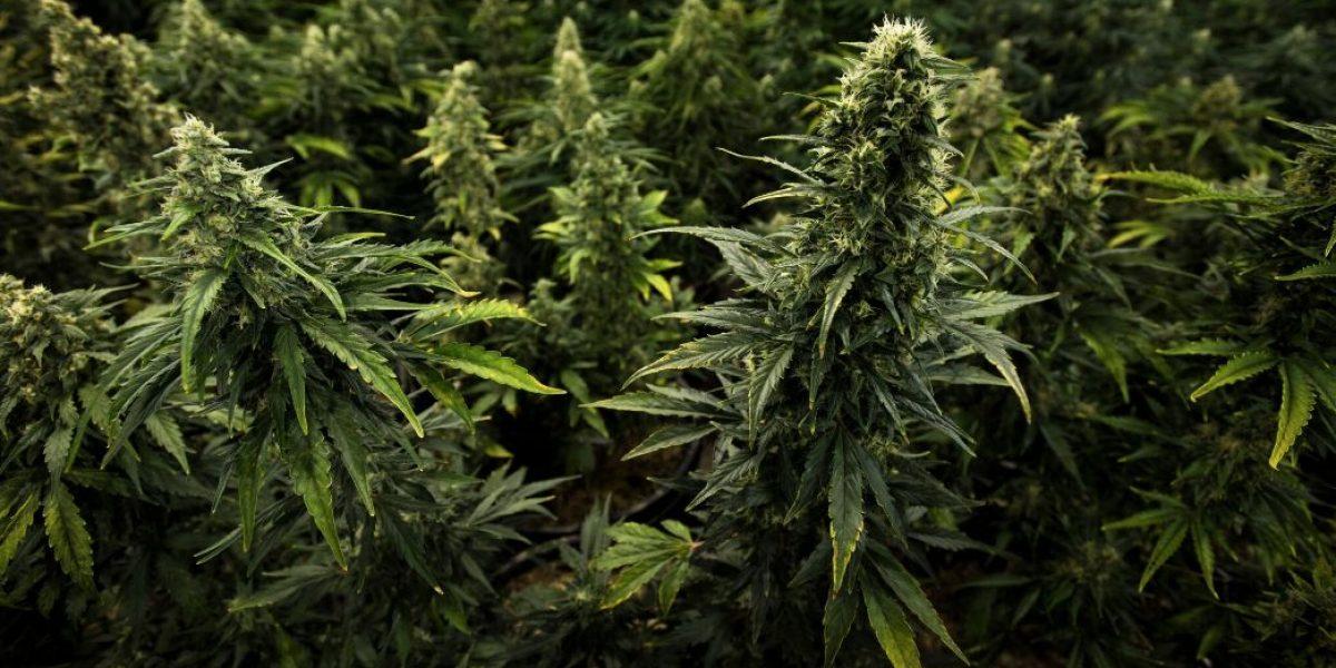 Certifican primera farmacéutica de cannabis medicinal en Puerto Rico